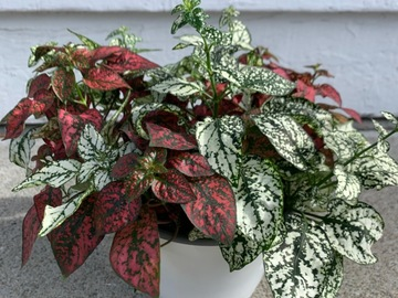 Selling: Red and White Hypoestes 'Polka Dot Plant'