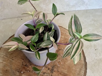 "Join wait list: 4"" Tradescantia Mundula Variegata ""rainbow or tricolor"