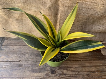 Selling: Sansevieria Golden Flame