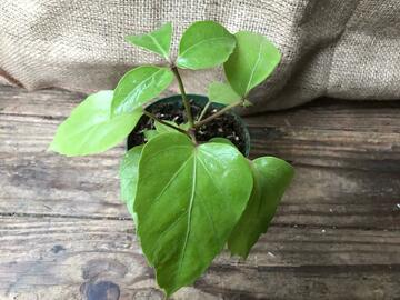 Selling:  Schefflera umbrella plant