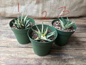 Selling: Haworthia Limifolia Variegated