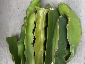 Selling: Dragon fruit cutting - white flesh