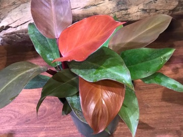 Selling: Philodendron McColley Finale