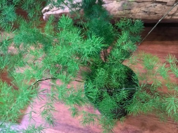 Selling: Asparagus Ming fern