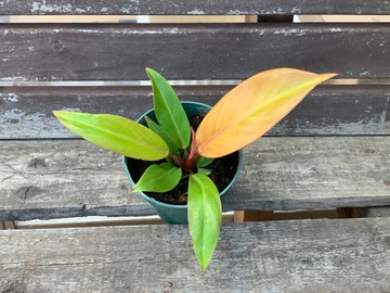 Selling: Prince of Orange Philodendron