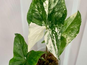 Selling: Syngonium podophyllum albo in moss