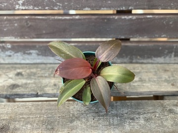 Selling: Philodendron black cardinal