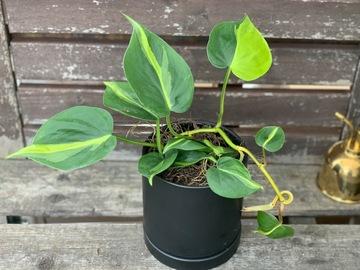 Selling: Philodendron brasil in black ceramic pot