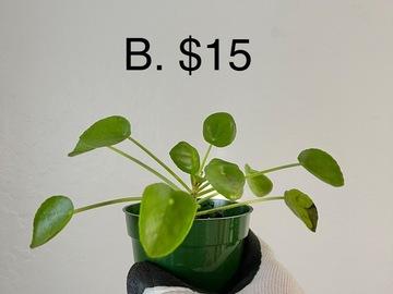 Selling: Pilea/Chinese Money/UFO plant