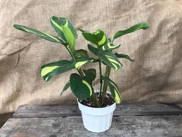 Selling: Calathea lubbersiana