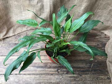 Selling: Philodendron Xanadu