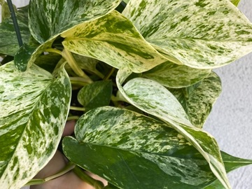 "Selling: 8"" Marble Queen Pothos"