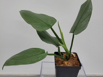 Selling: Philodendron hastatum silver sword