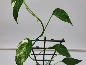 Selling: Epipremnum pinnatum variegated