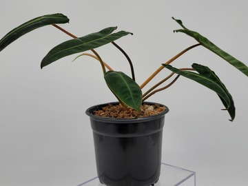Join wait list: Philodendron Billietiae-***AUCTION***