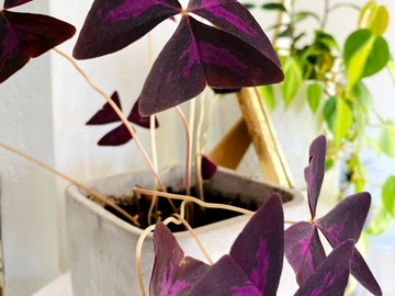 Selling: Oxalis Triangularis / Purple Shamrock