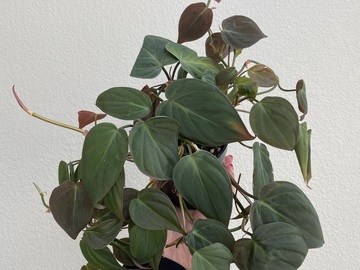 Selling: Philodendron Micans
