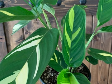 Selling: Ctenanthe lubbersiana / never never plant