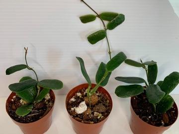 Selling: Hoya Rotundiflora