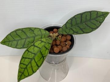 Selling: Hoya Callistophylla short leaf in leca #5