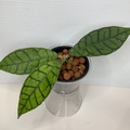 Selling: Hoya Callistophylla short leaf in leca #5