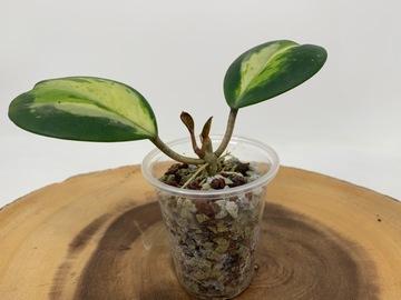 Selling: Hoya obovata variegated #3