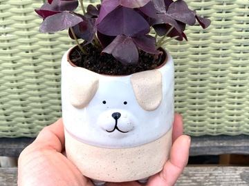Selling: Oxalis triangularis purple shamrock in dog ceramic pot