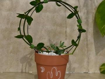 "Selling: Ceropegia sandersonii ""parachute plant """