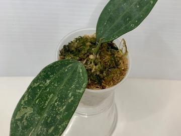 Selling: Hoya Rangsan in moss #8