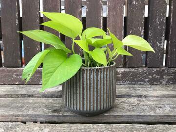 Selling: Neon pothos in ceramic pot