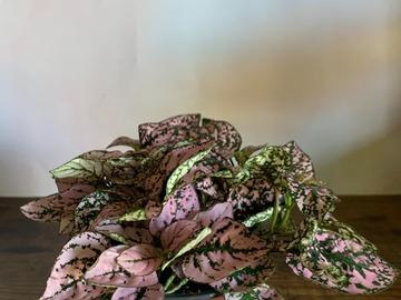 Selling: Pink Hypoestes 'Polka Dot Plant'