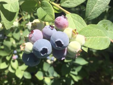 Selling: Blueberry Plants - 5 Gallon Pots