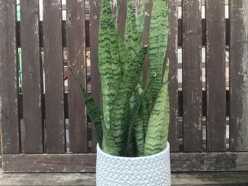 Selling: Snake plant in white ceramic pot
