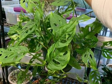 Selling: Monstera adansonii, Swiss cheese plant