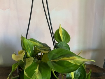 Selling: Philodendron Brasil