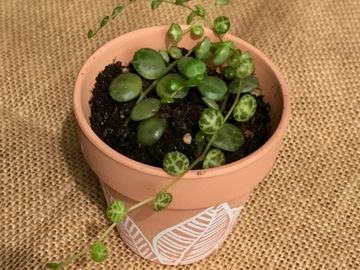 """Selling: Peperomia """"string of turtles """""""