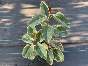 Selling: Ficus Tineke