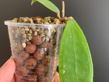 Selling: Hoya Bhutanica