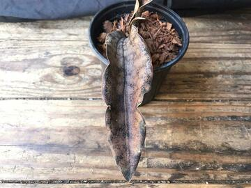 Selling: Sansevieria Coppertone