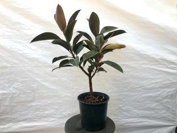 Selling: Ficus Melanie