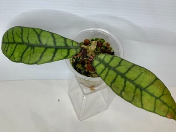 Selling: Hoya Callistophylla long leaf