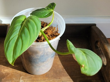 Selling: Philodendron Gloriosum 4
