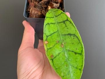 Selling: Hoya Callistophylla