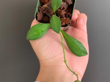 Selling: Hoya sp aff Burtoniae