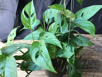 Selling: Monstera swiss cheese -long trailing plant