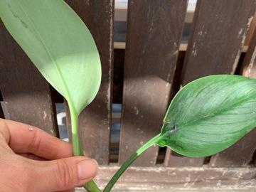 Selling: Scindapsus treubii cutting