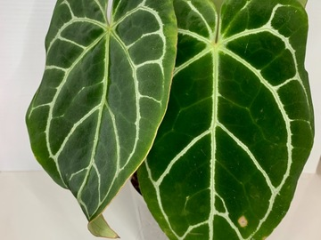 Selling: Anthurium Crystallinum  #3