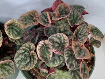 Selling: Peperomia Caperata Abricos