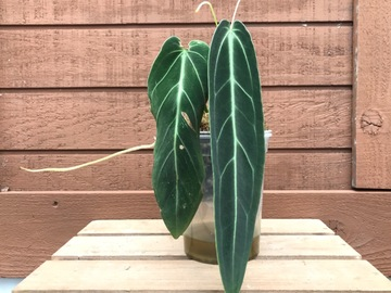 Selling: Anthurium Warocqueanum