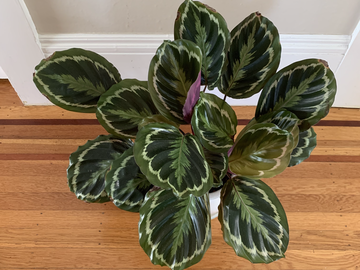 Selling: Calathea Medallion